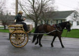 new cape cart hitched to morgan/perch-stephen stoltzfus whip