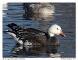 Oie des neiges (forme sombre) Blue Goose