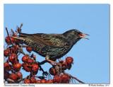 Étourneau sansonet  European Starling