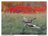 Canard d'Amérique  American wigeon