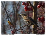 Étourneau sansonnet  European starling