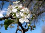 Bradford Pear Tree in Spring