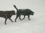 snowy dogs