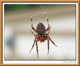 SpiderHB11-8-07 .jpg
