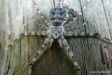 Hello, Spider Face