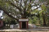 Bodhi Tree in Buddhist Monestary.jpg