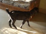 Goat in Sohail's House.jpg
