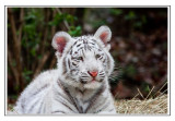 Tiger cubs and tigers