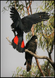 Red Tailed Black Cockatoo - NSW, Northern Territory and Qld