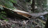 30 windfall on Upper Lake creek Trail