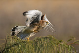 (Common) Kestrel