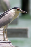 black-crowned_night_heron