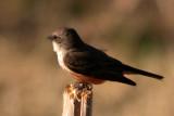 Vermilion Flycatcher (female)
