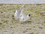 Svarthuvad mås / Mediteranean Gull