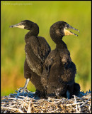 _ADR0118 cormorant chics cwf.jpg