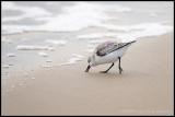 _MG_0772 sanderling wf.jpg