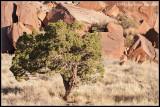 _ADR7058 canyon tree cewf.jpg