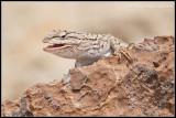 _MG_3811 lizard wf.jpg