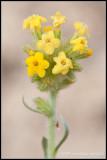 _ADR8149 Yellow Crypanth wf.jpg