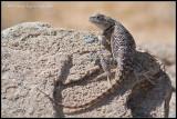 _MG_3580 lizard wf.jpg