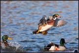 _ADR0899 wood duck flight wf.jpg