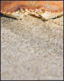 _ADR0517 crab 11x14 wf.jpg