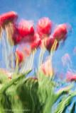 _ADR8234 tulipsc-text w.jpg