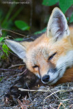 _MG_9660 fox kit w.jpg