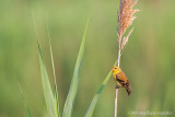 _MG_8890 common yellowthroat w.jpg