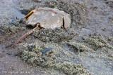 _ADR8741 horseshoe crab eggs w.jpg