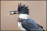 _MG_4662 kingfisher wf.jpg