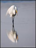 _ADR7061 egret cwf.jpg