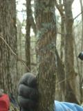Bear marking on Hop Hornbeam.JPG