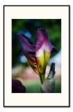 may 23 first irises