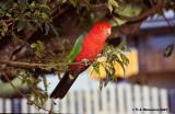 Australian Kingparrot (Alisterus scapularis)