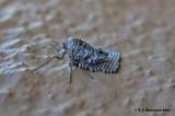 Fall Crankerworm (Alsophila pometaria)