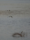 2 BH Gulls and Fence.JPG