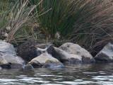 Common Sandpiper.JPG