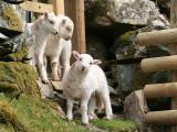 3 Lambs 3.JPG