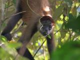 Geoffroys Spider Monkey - Ateles geoffroyi - Zwarthandslingeraap