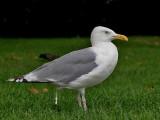 Shitting Herring Gull - Scheitende Zilvermeeuw