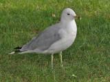 Ring-billed Gull - Ringsnavelmeeuw - Larus delawarensis