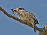 Striped Kingfisher - Gestreepte IJsvogel - Halcyon chelicuti
