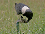 Pied Crow - Schildraaf - Corvus albus