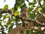 Pearl-spotted Owlet - Geparelde Dwerguil - Glaucidium perlatum