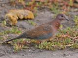 Laughing Dove - Palmtortel - Streptopelia senegalensis