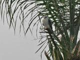 Black-shouldered Kite - Grijze Wouw - Elanus caeruleus