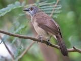Brown Babbler - Sahelbabbelaar -  Turdoides plebejus