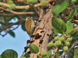 Buff-spotted Woodpecker - Termietenspecht - Campethera nivosa
