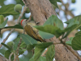 Cardinal Woodpecker - Dendropicos fuscescens